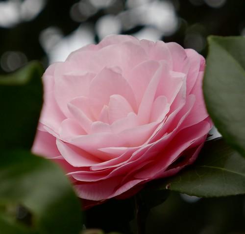 Au jardin,premier camellia, Bosdarros, Béarn, Pyrénées Atlantiques, Aquitaine, France.