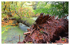 Storm Damage (coulportste) Tags: tree roots liverpool autumn croxteth