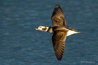 Longtail Duck - female