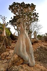 Bottle Trees (Rod Waddington) Tags: middle east yemen yemeni socotra island bottle tree trees rocks landscape outdoor plant nature