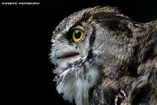 American eagle owl - Olmense Zoo