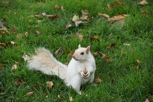 "Rare White Squirrel • <a style=""font-size:0.8em;"" href=""http://www.flickr.com/photos/52364684@N03/38090846992/"" target=""_blank"">View on Flickr</a>"