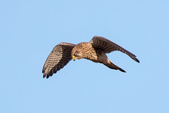 Kestrel (Simon Stobart) Tags: kestrel falco tinnunculus hovering northeast england sky blue flight bird coth5 ngc npc