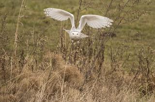 Snowy Owl - Holmes County