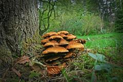 IMG_0613Vignette (bob_rmg) Tags: perrow arboretum tree autumn colour leaves bedale thorp fungi wood