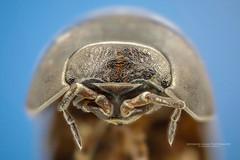 Retrato de um Tatu-bolinha (Jefferson Allan - Photographer) Tags: jeffersonallan paisagens macro macrofotografia closeup arvores campinas superfoto fotografia