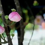 บัวสวรรค์ or Bua Sa Wan (Heaven Lotus) - Gustavia Superba thumbnail