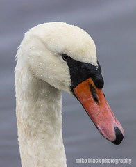 Mute swan 100% crop Canon 5DS see full size! (Mike Black photography) Tags: mute swan bird nature 4k hidef 8k canon 5ds 600mm lens usm is ls shark river nj new jersey usa shore