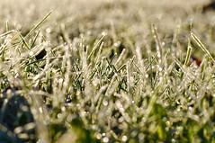 frozen morning bokeh (ladybugdiscovery) Tags: hbw bokeh macro frost grass green cold meadow