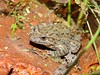Painted Frog (Discoglossus pictus) (Nick Dobbs) Tags: painted frog discoglossus pictus amphibian rare malta declining