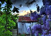 WISTERIA BLUES in my GARDEN..... (Lani Elliott) Tags: naturephotography lanielliott nature garden homegarden tree wisteria blue mauve purple sky bluesky color colour colourful bright moody shed rustic weathered