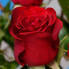 Red Roses (Merrillie) Tags: rose flowers gift nature roses red garden indoors vase valentine macro love closeup blooming bloom romance petals flora