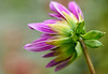 flower in Botanical Garden, Ooty- (Nikondxfx (instagram)) Tags: 2017 d750 india nikkor nikon october travel coonoor ooty southindia train travelphotography flower flowerphotography flora flowers dahlia botanicalgarden tamron90mm tamron90mmmacro tamronspaf90mmf28divcusdmacro tamron macrophotography
