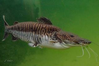 Tijgermeerval / Tiger Shovelnose Catfish