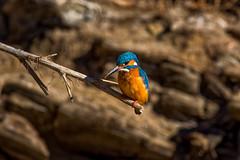 Kingfisher - Guarda-rios (www.craigrogers.photography) Tags: guardarios kingfisher river rio odelouca saomarcosdaserra sãomarcosdaserra fish
