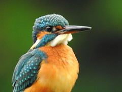 Common Kingfisher-2 (翠鳥) (Guan_ting) Tags: 翠鳥 池邊 common kingfisher portrait botanical garden