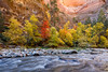 6832 Virgin River Autumn (kylebarendrick) Tags: autumn narrows nationalpark utah zion