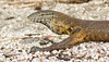 Nile Monitor (Varanus niloticus) (George Wilkinson) Tags: nile monitor varanus niloticus liwonde national park malawi lizard reptile canon 400mm 7d africa