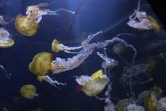 Jelly fish photo by Kahrine age 8 (cynthiarobb) Tags: