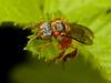 Fliege? (Eerika Schulz) Tags: fliege raubfliege fly robber mindo ecuador