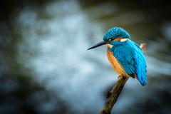 Kingfisher (jimmy.sorber) Tags: kingfisher ijsvogel vogel bird wildlife wild fauna nature natuur blue orange oostvaardersplassen netherlands beautiful colours animal d7200 70300mm