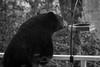 black bear, bird feeder, porch, cabin, Black Mountain, North Carolina, Nikon D3300, mamiya sekor 80mm f-2.8, 11.14.17 (steve aimone) Tags: bear blackbear wildlife birdfeeder porch cabin blackmountain northcarolina nikond3300 mamiyasekor80mmf28 mamiyaprime prime lens primelens blackandwhite monochrome monochromatic