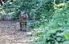 Bobcat (deepskywim) Tags: zoogdieren dieren rodelynx yosemitenationalpark california unitedstates us