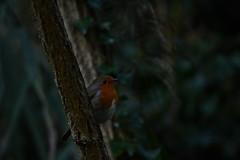 Hide & Seek (JerryGoulet) Tags: robin england birds animals outdoors outside dark naturereserve light