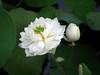 Sacred Lotus 'White Maldives' Wahgarden Thailand 14 (Klong15 Waterlily) Tags: whitemaldives lotus sacredlotus thailotus flower lotusflower wahgarden