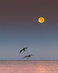 pelican moon (otgpics) Tags: full moon lunar phase early morning dawn longboat key florida gulf coast pelicans fishing boat gulls marine shorebirds