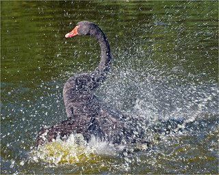 Bathing black swan