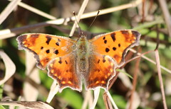 eastern comma (jefftome) Tags: butterfly fall november eastern comma orange insect macro nature brushfoot