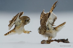 Short-eared Owl protects its meal (Earl Reinink) Tags: owl raptor bird animal winter post repost shortearedowl earl reinink earlreinink