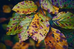 autumn (Jos Mecklenfeld) Tags: leaves blatter bladeren herfst herbst autumn nature natur natuur colors kleuren farben a6000 sonyilce6000 sonya6000 terapel groningen netherlands nl ilce6000 selp1650