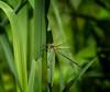 No Shakin' (Portraying Life, LLC) Tags: da3004 hd14tc k1 closecrop handheld nativelighting damselfly sedge meadow
