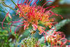 In the SPOTLIGHT... (Beckett_1066) Tags: birdsnepeankelly flowers grevillea bee