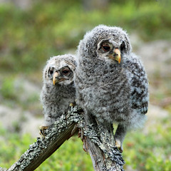 On display (cinclus66) Tags: fugler square owl puppie forest summer hedmark norway