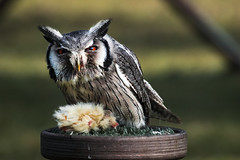 u are 2 close (johndifool) Tags: eule owl crazytuesdaytheme 7dwf becareful cuidado