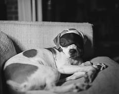 Ramona (BurlapZack) Tags: pentax6x7 smcpentax90mmf28 kodaktrix400 dallastx oakclifftx dog dogg doggo pup puppy pupper sleep nap naptime sleepmask yongnuoyn360 ledwand couch home house shethinksshespeople portrait bokeh dof test testroll bw mono monochrome