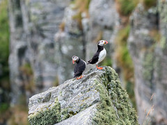 Atlantic puffin, Lunnefågel (Fratercula arctica) (Lars Thorén) Tags: puffin runde norway olympus 300mm f4 em1 mkii bird birds olympus300mmf4 olympusem1mkii
