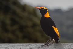 Regent Bowerbird (RoosterMan64) Tags: australia bird bowerbird nature regentbowerbird wildlife