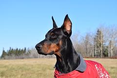 DSC_0069 (justinluv) Tags: achilles doberman dog dobe dobie dobermanpinscher eurodoberman canine