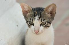 Dans les yeux du chat (Rosca75) Tags: colombia colombie animal mompox mompós cat