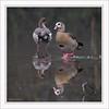 KUS_-9366 (Weinstöckle) Tags: vogel nilgans enz