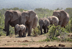 Elephant herd, Addo Elephant NP, South Africa (JH_1982) Tags: african elephant elephants afrikanische elefant elefanten loxodonta éléphant dafrique 非洲象 アフリカゾウ属 아프리카코끼리속 африканские слоны addo national park np nationalpark parque nacional parc nazionale addoelefantennationalpark olifant nasionale 阿多大象国家公园 herd family animals young baby animal wildlife nature tier familie south africa rsa za südafrika sudáfrica afrique sud sudafrica 南非 南アフリカ共和国 남아프리카 공화국 южноафриканская республика جنوب أفريقيا