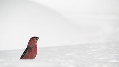 'Pine Grosbeak' (Canadapt) Tags: pinegrosbeak bird snow winter negativespace keefer canadapt