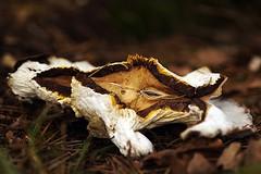 Nature (De Rode Olifant) Tags: marjansmeijsters autumn mushroom fungus nature face