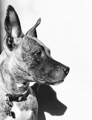 Millie Monster's headshot. (Patrick.Burns) Tags: dog blackandwhite bw profile basenji basenjimix