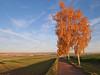 birches (Ein Blickfänger) Tags: birken abendsonne eveningsun goldenestunde allee