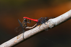 Red-faced Skimmer Mating Pair (Gomen S) Tags: animal wildlife nature asia tropical 2017 autumn afternoon forest mountain hongkong hk china 80400mm d500 nikon dragonfly